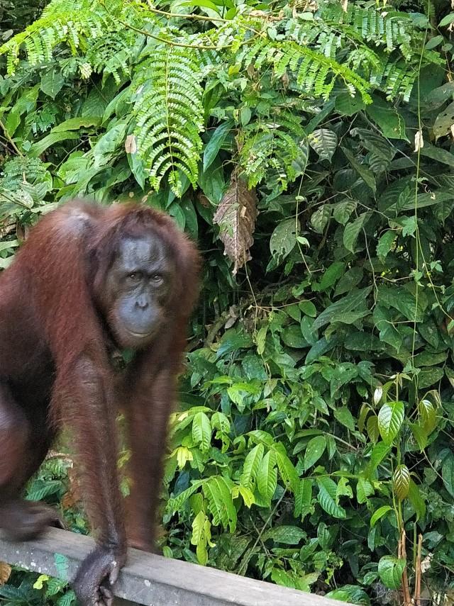Orangutan Sepilok Rehabilitation Centre