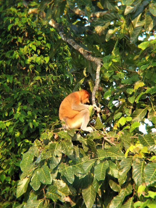 Proboscis monkey. Kinabatangan River, Sabah, Borneo.
