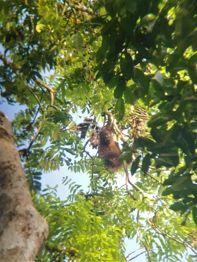 Hari, the baby orangutan in the trees above the lodge. Kinabatangan River, Sabah, Borneo.
