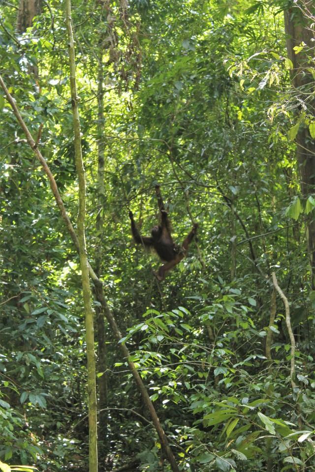 Orangutan Sepilok, Sabah, Borneo