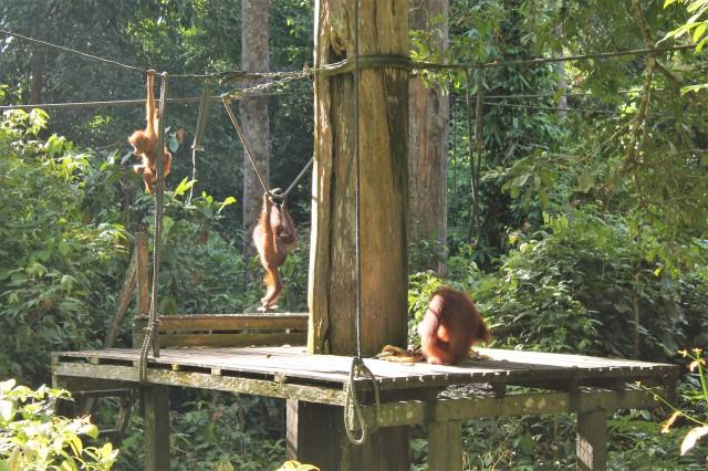 Orangutans at the feeding platform. Sepilok, Sabah, Borneo.