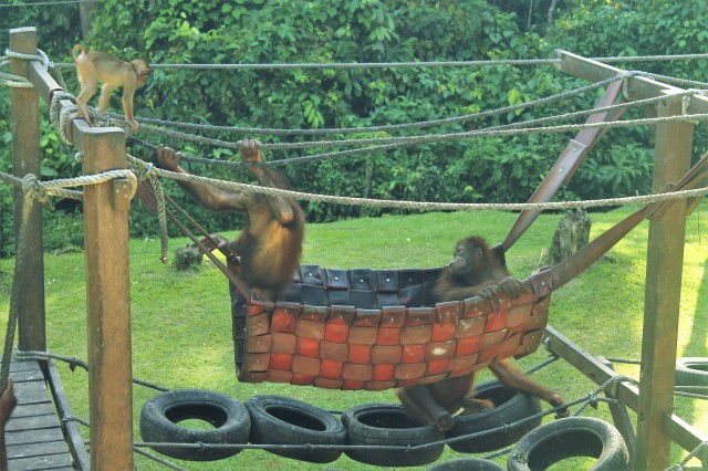 Baby orangutans playing in the nursery.